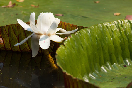 shimmery: Leaf of victoria waterlily float on shining water.Resemble heart shape.