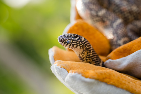 colubridae: Lampropeltis getula meansi, commonly known as Apalachicola Kingsnake, protect danger from snake by leather glove Stock Photo