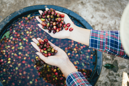 Young woman handful of fresh organic red coffee beans after harvesting at Little house in the big Woods, initiation Doi Phahom Pok is due to initiative of H.R.H. Queen Sirikit Phra Borommarachininat