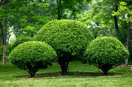 Pruned holly in garden