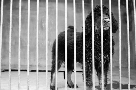A small tibetan mastiff in kennel