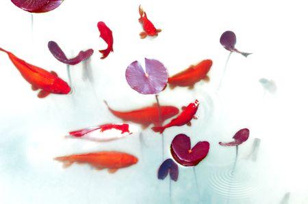 Goldfish playing in lotus pond Stock Photo
