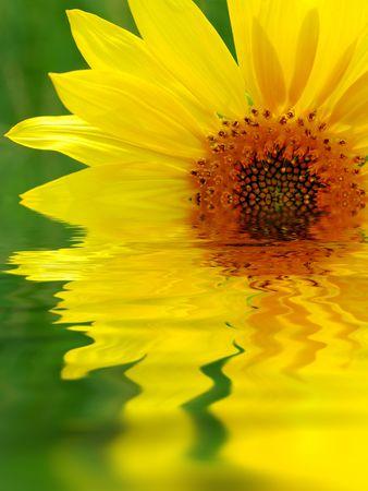 Sunflower reflection Stock Photo - 3833349