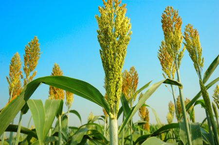 Sorghum with blue sky background Stock Photo