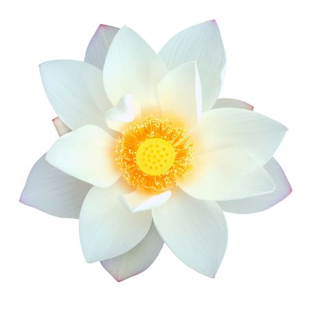 exotic flower: Isolated lotus  with path