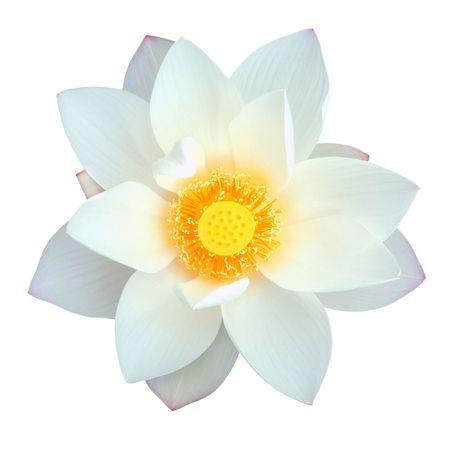 flor loto: Loto aislado con la ruta de acceso