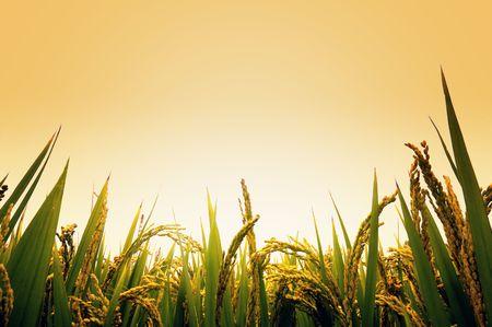 arroz chino: Campo de arroz en la ma�ana