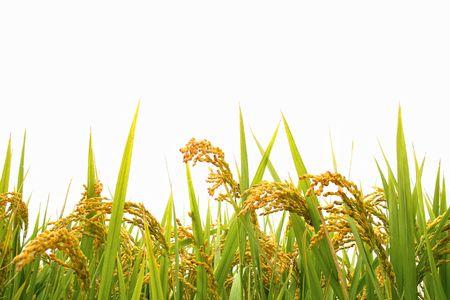 arroz chino: Campo de arroz de oto�o
