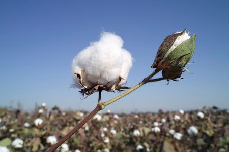 cotton ball: Cotton boll on  cotton branch