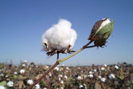 planta de algodon: Las c�psulas de algod�n en rama de algod�n