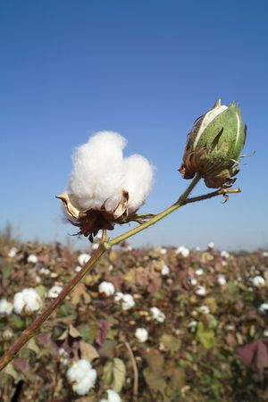 cotton plant: Cotton boll on  cotton branch