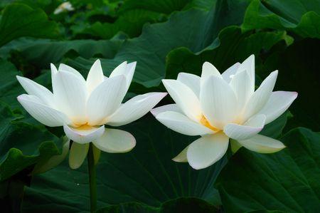Twins lotus photo