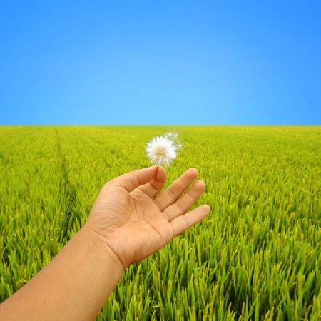 Hand with dandelion above rice field in autumn