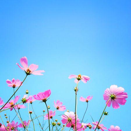 Chrysanthemum Stock Photo - 5916129