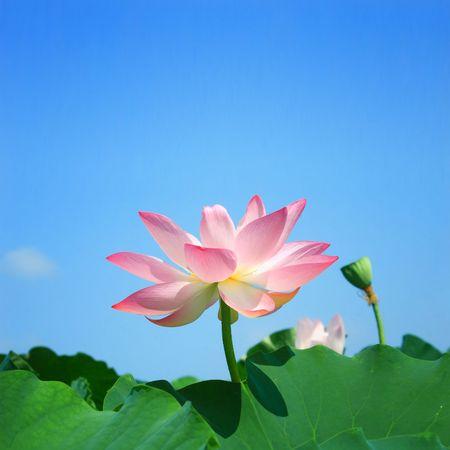 seedpod: Lotus in summer
