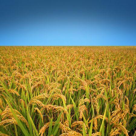 Autumn rice field