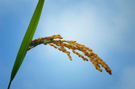 arroz chino: Oreja de arroz bajo cielo azul Foto de archivo