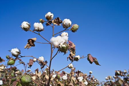 Cotton field in China