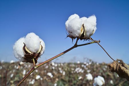 cotton plant: Cotton field in China