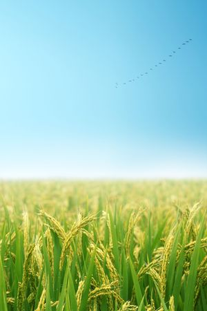 rice paddy: Landscape in autumn Stock Photo