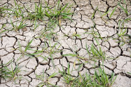Drought cracked soil in wheat field,spring