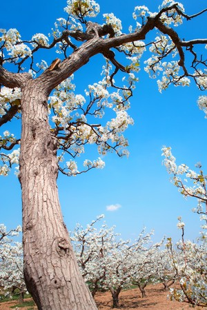 Spring pear orchard in China