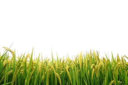 arroz blanco: Arrozales en oto�o