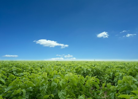 Mulberry field in china