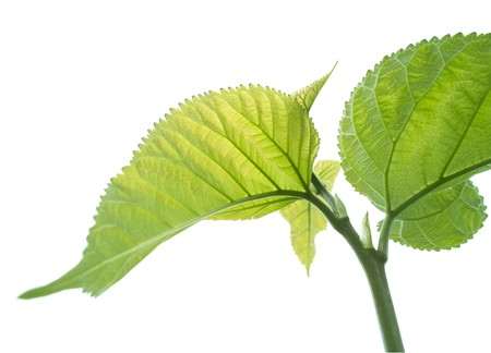 Mulberry leaves on white