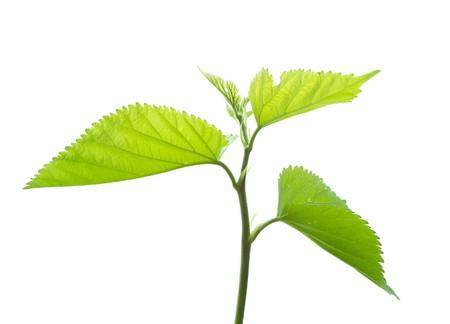 Fresh leaves on white Stock Photo