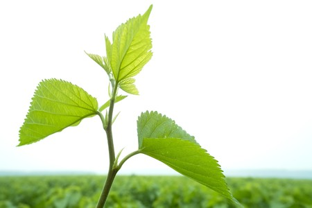 Fresh mulberry leaves in mulberry field