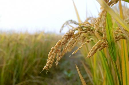 Rice paddy in autumn Stock Photo