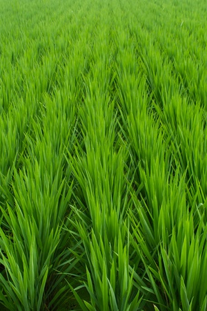 Rice seedlings  in summer,China Stock Photo