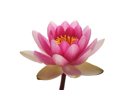 Blossom pink lotus flower head against the white background Stock Photo - 10287250