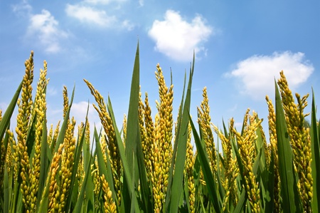 rice paddy: Golden rice paddy Stock Photo