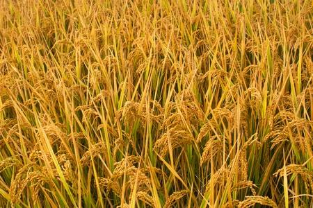 Yellow rice paddy before harvesting