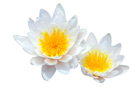 yellow stamens: Lotus with white background
