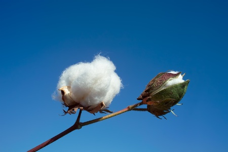 cotton crop: Cotton boll again blue sky Stock Photo