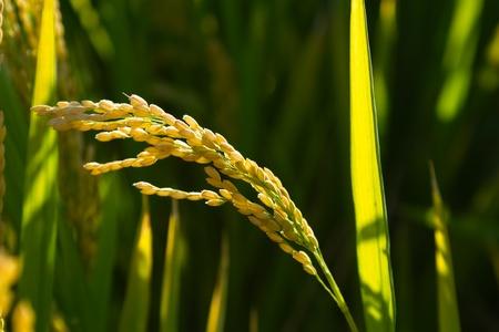 Ripe rice paddy back lit
