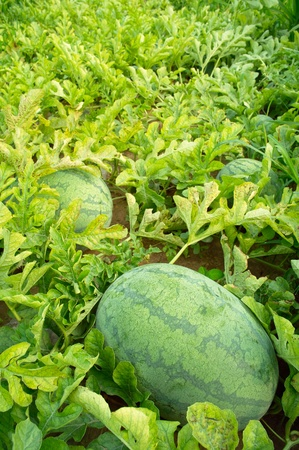 Watermelons  in the field photo