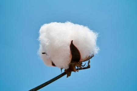 Cotton boll again blue sky Stock Photo