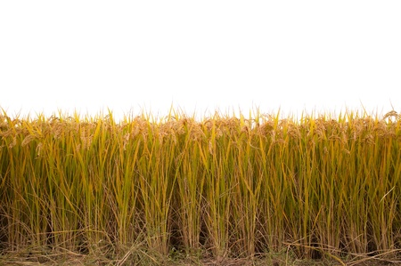 paddy fields: Ripe rice paddy in autumn