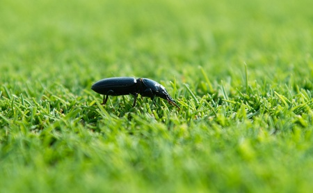 ground beetle: Ground beetle in the grass Stock Photo