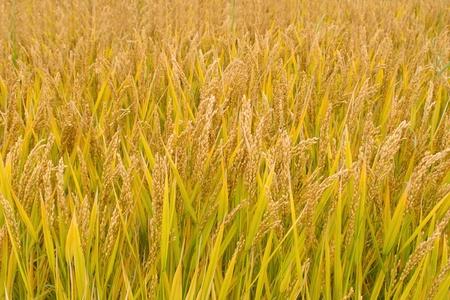 Ripe rice paddy in autumn photo