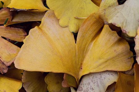 autumn colour: Yellow fallen leaves of Gingko biloba tree