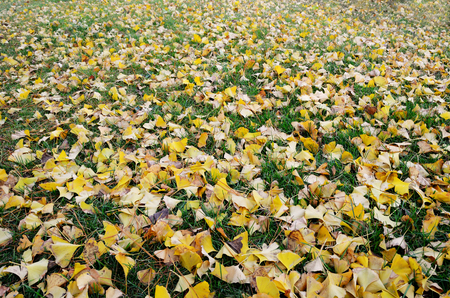 autumn colour: Yellow fallen leaves of Gingko biloba tree with green grass Stock Photo