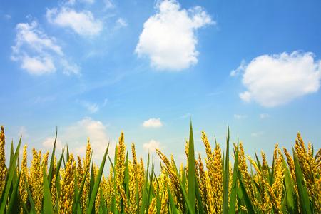 arroz chino: Paddyfield bajo el cielo