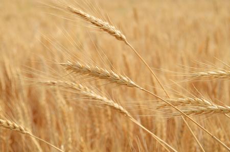 cultivo de trigo: macro trigo maduro Foto de archivo