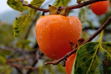 Ripe persimmon in autumn Stock Photo
