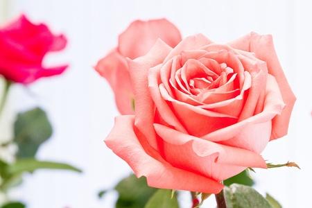 pink rose chaingmai Thailand Standard-Bild